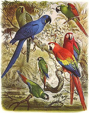 Macaw - Glaucous macaw (behind hyacinth macaw) and other macaws