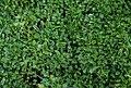 Globularia cordifolia 2.jpg