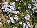 Globularia cordifolia ssp. repens 01.jpg
