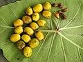 Gmelina arborea Fruit seed (3) 06.jpg
