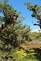 Gnarly trees, colorful mosses and lichen at Key Summit.jpg