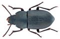 Gnophota cribricollis Brullé, 1838 (11562552444).png