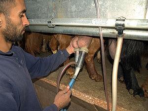 Goat farming - A goat being machine milked on an organic farm