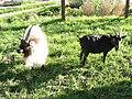 Goats at Gorse Hill City Farm - geograph.org.uk - 73264.jpg