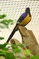 Golden-breasted Starling 2.jpg