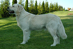 Golden-retriever-1.jpg