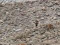 Golden Eagle (Aquila chrysaetos) (34071041660).jpg