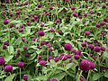 Gomphrena globosa from Lalbagh flower show Aug 2013 8123.JPG