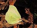 Gonepteryx rhamni (30993741192).jpg