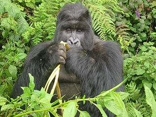 Gorilla Eating.jpg