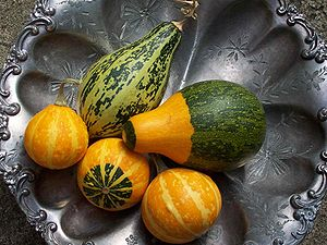 Gourd - Cucurbita pepo gourds grown in a suburban garden