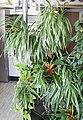 Grünlilien (Chlorophytum comosum) (19856241933).jpg