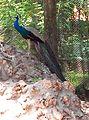 Graceful Peacock.jpg
