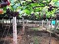 Grapes Plantation @ Cumbum, Theni - panoramio.jpg