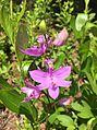 Grass Pink Orchid.jpg