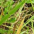 Grasshopper (19532709644).jpg