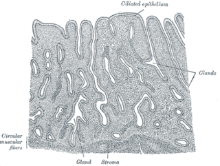 Uterine gland