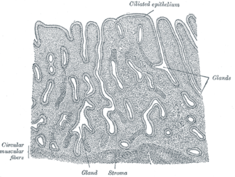 Uterine gland - Vertical section of mucous membrane of human uterus. (Glands labeled at center right.)