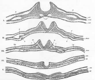 Neural fold - Cross section through the embryonic disc showing the fold.