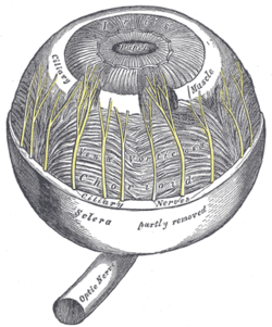 Ciliary muscle wikipedia ciliary muscle ccuart Gallery