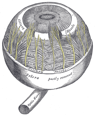 Ciliary muscle - The choroid and iris. (Ciliary muscle is labeled near top.)