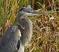 Great Blue Heron at Lake Woodruff - Flickr - Andrea Westmoreland (10).jpg