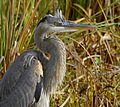 Great Blue Heron at Lake Woodruff - Flickr - Andrea Westmoreland (10).jpg