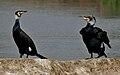 Great Cormorant (Phalacrocorax carbo) near Hodal W IMG 6446.jpg