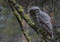 "Great Gray Owl (Strix nebulosa) - Flickr - Gregory ""Slobirdr"" Smith.jpg"