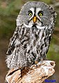 Great Grey Owl, adult male.jpg