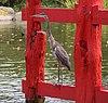 Great blue heron on torii (70295)a.jpg