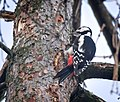 Great spotted woodpecker (48989957162).jpg