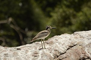 Great thick-knee (Esacus recurvirostris) from Ranganathittu Bird Sanctuary JEG4108.jpg