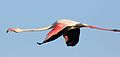 Greater Flamingo, Phoenicopterus roseus at Marievale Nature Reserve, Gauteng, South Africa (29316922292).jpg