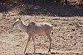 Greater Kudu (Tragelaphus strepsiceros) female coming to drink ... (50217498662).jpg