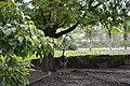 Greater rhea, Zoo Miami.jpg