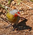 Green-winged Pytilia (Pytilia melba) male looking for termites ... (33467022482).jpg