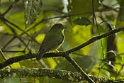 Green Manakin fem - South Ecuador S4E1153 (16638948837)