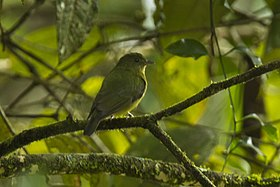 Green Manakin fem - South Ecuador S4E1153 (16638948837).jpg