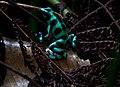 Green and black poison dart frog-1 - Flickr - Ragnhild & Neil Crawford.jpg