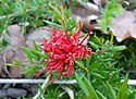 Grevillea New Blood W155919.jpg