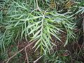 Grevillea superb leaves.jpg