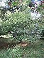 Grewia parviflora vue générale.JPG