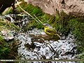 Grey-hooded Warbler (Phylloscopus xanthoschistos) (40995564674).jpg