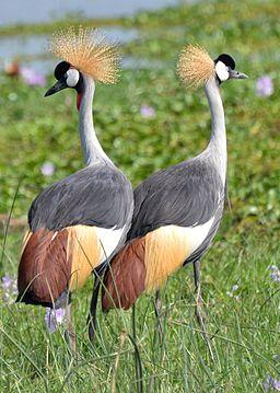 Grey Crowned Crane, Uganda (15069988693)
