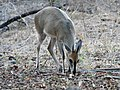 Grey Duiker - who came early enough on Tuesday for a photo (43841759805).jpg