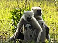 Grey Langurs with their children.jpg