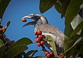 Grey hornbill having breakfast.jpg