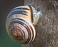 Grove snail (51182362773).jpg