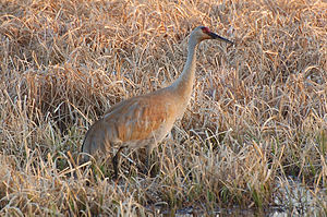 A Sandhill Crane spotted in Crex Meadows Wildlife Area.